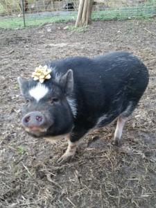 cute pig NAPPA