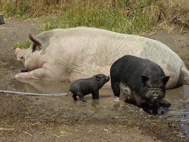 Weighing Your Pig Without A Scale – North American Pet Pig